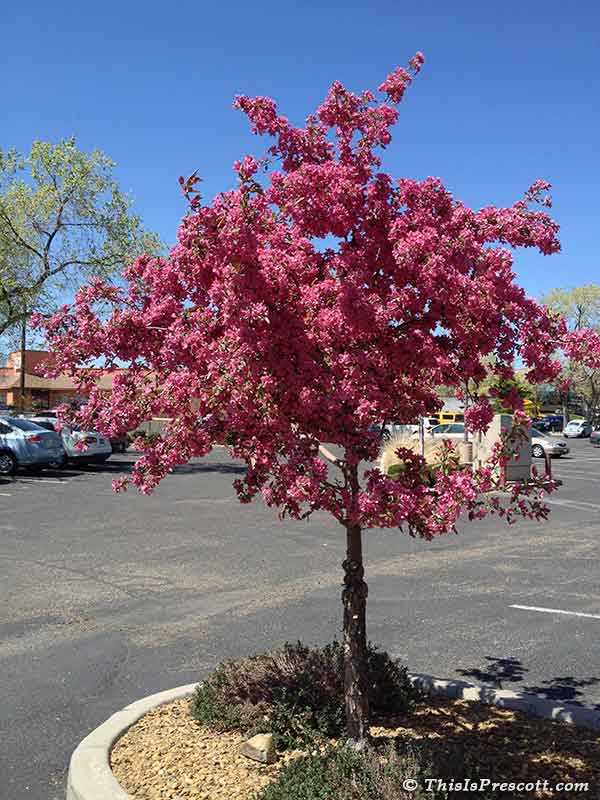 Centurion Crabapple Tree in Prescott, AZ