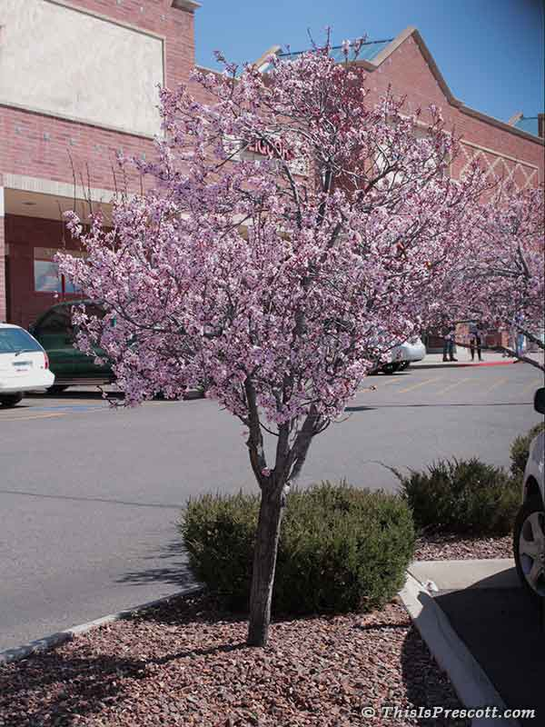 Purple Leaf Plum tree at the Depot Marketplace in Prescott, AZ